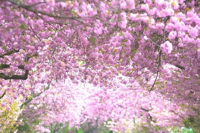 気仙沼市の徳仙丈山が凄すぎる!山がピンク色に染まる開花時期は?